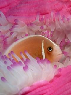 Красивая рыбка спряталась в ярко розовых кораллах